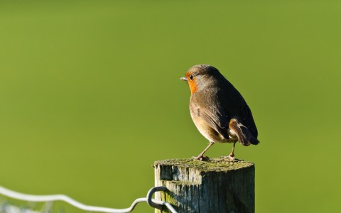 Robin on Fencepost