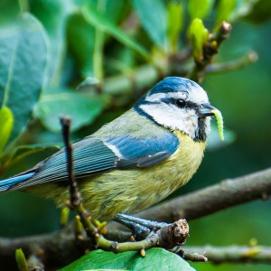 blue tit with caterpiller-1
