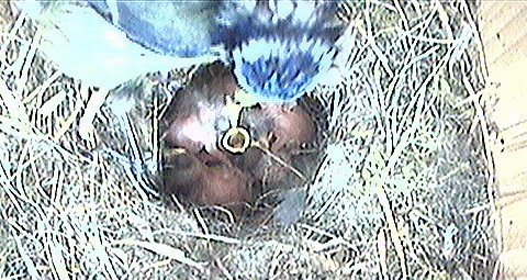 Blue Tit Eggs Hatched 18th May