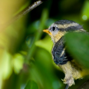 blue tit chick-2-3