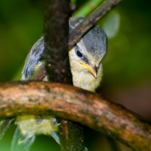 blue tit chick-3-3