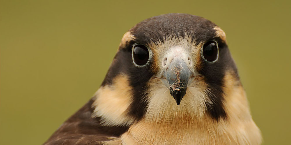 Peruvian Aplomado Falcon